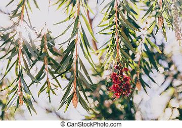 Australian callistemon tree (also called bottle brush plant) with red flowers