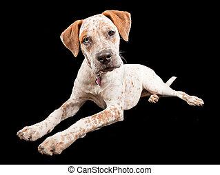 Australian Cattle Dog Cross Breed - A young Australian...