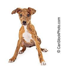 Australian Cattle Dog Puppy Mix Sitting