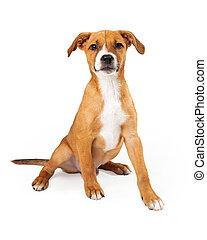 Australian Cattle Dog Puppy Mix Tan Color