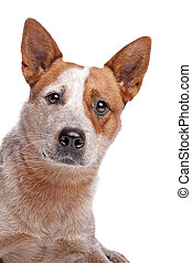 Australian Cattle Dog (red coat)