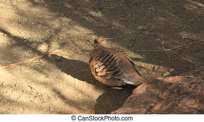 Australian Crested Pigeon - Crested Pigeon resting in the ...