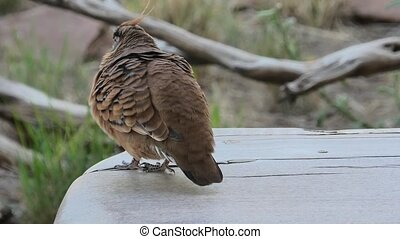 Australian Crested Pigeon - One Crested Pigeon resting on a ...