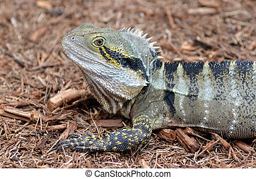 Australian Eastern Water Dragon in the wild of Queensland,...