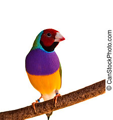 Australian finch Gouldian red headed male bird isolated on branch
