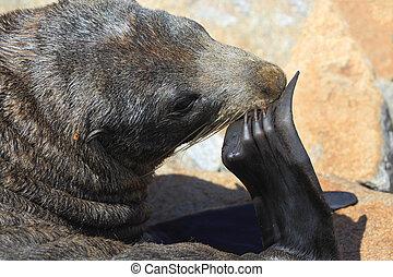 Australian Fur Seal (Sea Lion) - Australian fur seal ...