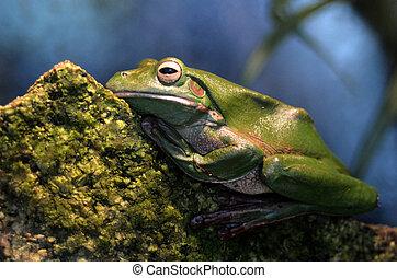 Australian green tree frog Gold Coast Queensland Australia