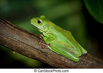 Australian green tree frog in Sydney