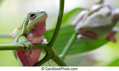 Australian Green Tree Frogs - Two Australian Green Tree...
