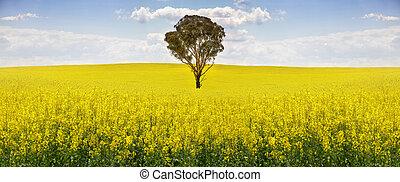 Australian gum tree in field of canola