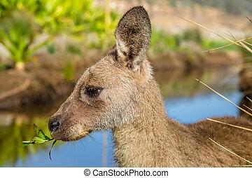 Australian Kangaroo New South Wales