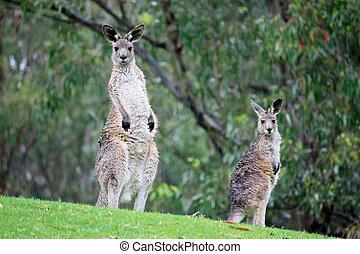 Australian kangaroos in grass field