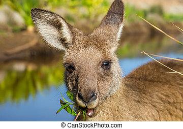 Closeup of an Australian red kangaroo, Macropus rufus, eating grass on the famous Pebbly Beach in the Murramarang National Park, south coast region, New South Wales, Australia.