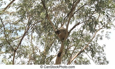 Australian Koala Bear sitting in a tree