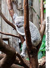 Australian Koala Bear sleep on a tree trunk. Koala relaxing...