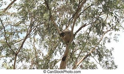Australian Koala Bear sitting in a tree