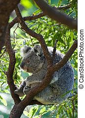 australian koala in a tree