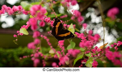 Australian Lurche, Yoma butterfly - The Australian Lurcher...