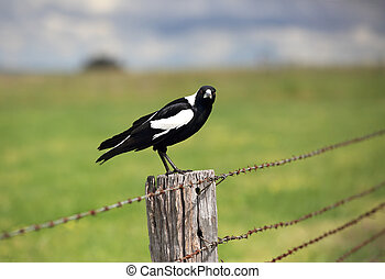 Australian Magpie - Gymnorhina tibicen, sitting on an old rustic fence post with intense stare.