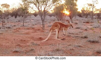 SLOW MOTION red kangaroo at sunset standing in the sun. Macropus rufus, on the red sand of central Australia. Australian Marsupial in Northern Territory in Red Center.