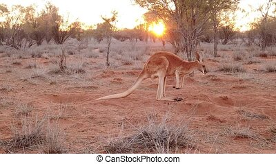 SLOW MOTION: side view of red kangaroo at sunset. Macropus rufus, on the red sand of outback central Australia. Australian Marsupial in Northern Territory in Red Center.