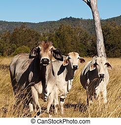 Australian meat industry brahman cattle
