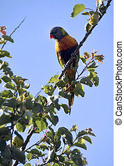 Australian native bird, rainbow lorikeet parrot in apricot tree against a blue sky in early morning sunshine.