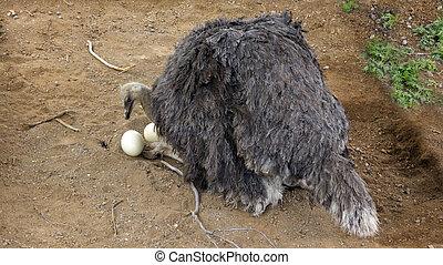 Australian Ostrich on the Nest