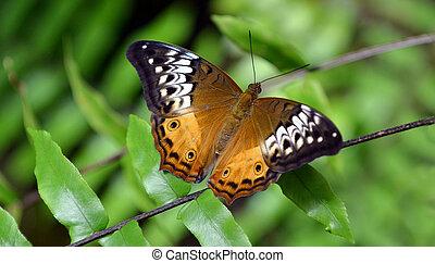 Australian painted lady butterfly - Australian painted lady...
