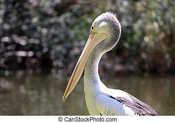 Australian Pelican - Pelecanus Conspicillatus - along the...