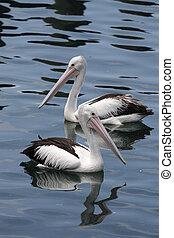 Australian Pelicans (Pelecanus conspicillatus) - Two...