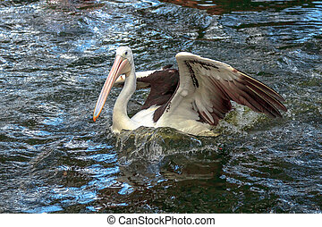Australian pelicans swims