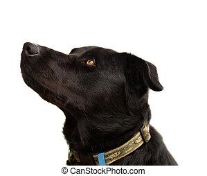 Australian pure bred kelpie black dog with floppy ears trait live animal portrait isolated on white background