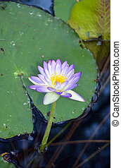 Australian purple waterlily