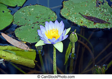 Australian Purple waterlily