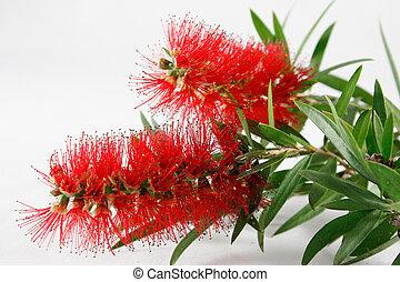 Australian red bottlebrush flower - Red Australian ...
