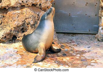 Australian Sea Lion - Neophoca cinerea - Basking in Sunshine...