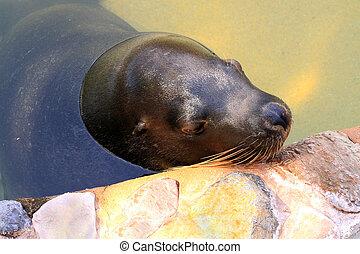 Australian Sea Lion - Neophoca cinerea - Resting against...