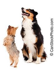 Australian Shepard and Silky Terrier - An australian shepard...