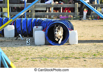 Australian Shepherd an obstacle in an Articulated Tunnel Agility test.
