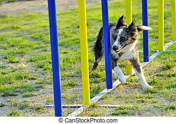 Australian Shepherd in a slalom obstacle agility test.