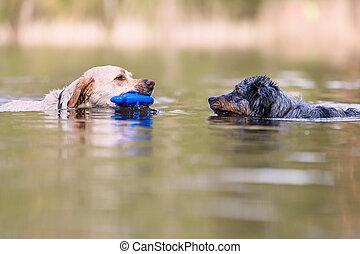 Australian Shepherd and Golden Retriever in a lake