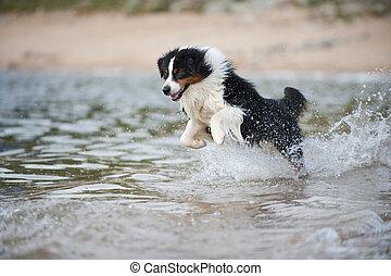 Australian shepherd at a lake