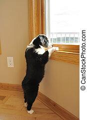 Australian Shepherd (Aussie) Puppy Watching - Tricolor...