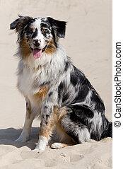 (australian, shepherd), chien