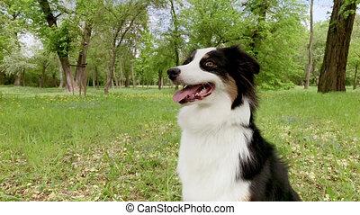 Australian Shepherd Dog in forest - Beautiful Australian ...