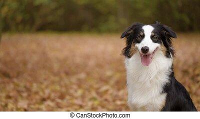 Australian shepherd dog in park
