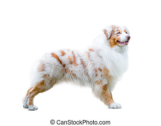 Australian shepherd dog isolated over a white