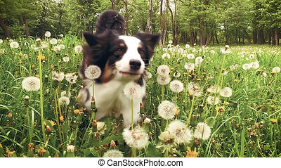 Australian Shepherd Dog on field - Slow motion - Beautiful...