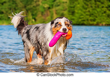 Australian Shepherd dog plays in a lake